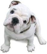 Everybody Loves a Bulldog!